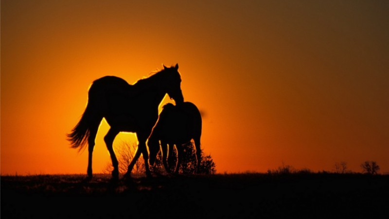 sunset-horses-wallpapers_7401_852x480