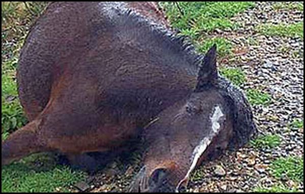 The horse killed by the Muslim