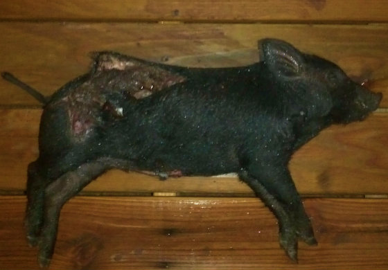 THE 'SACRIFICED' PIG FOUND AT THE MOSQUE