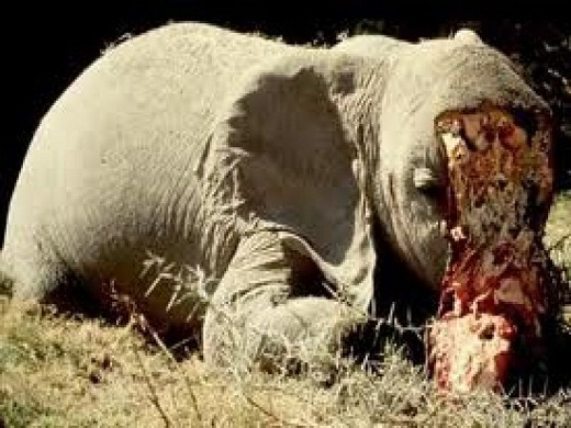 Elefantes-matanza1