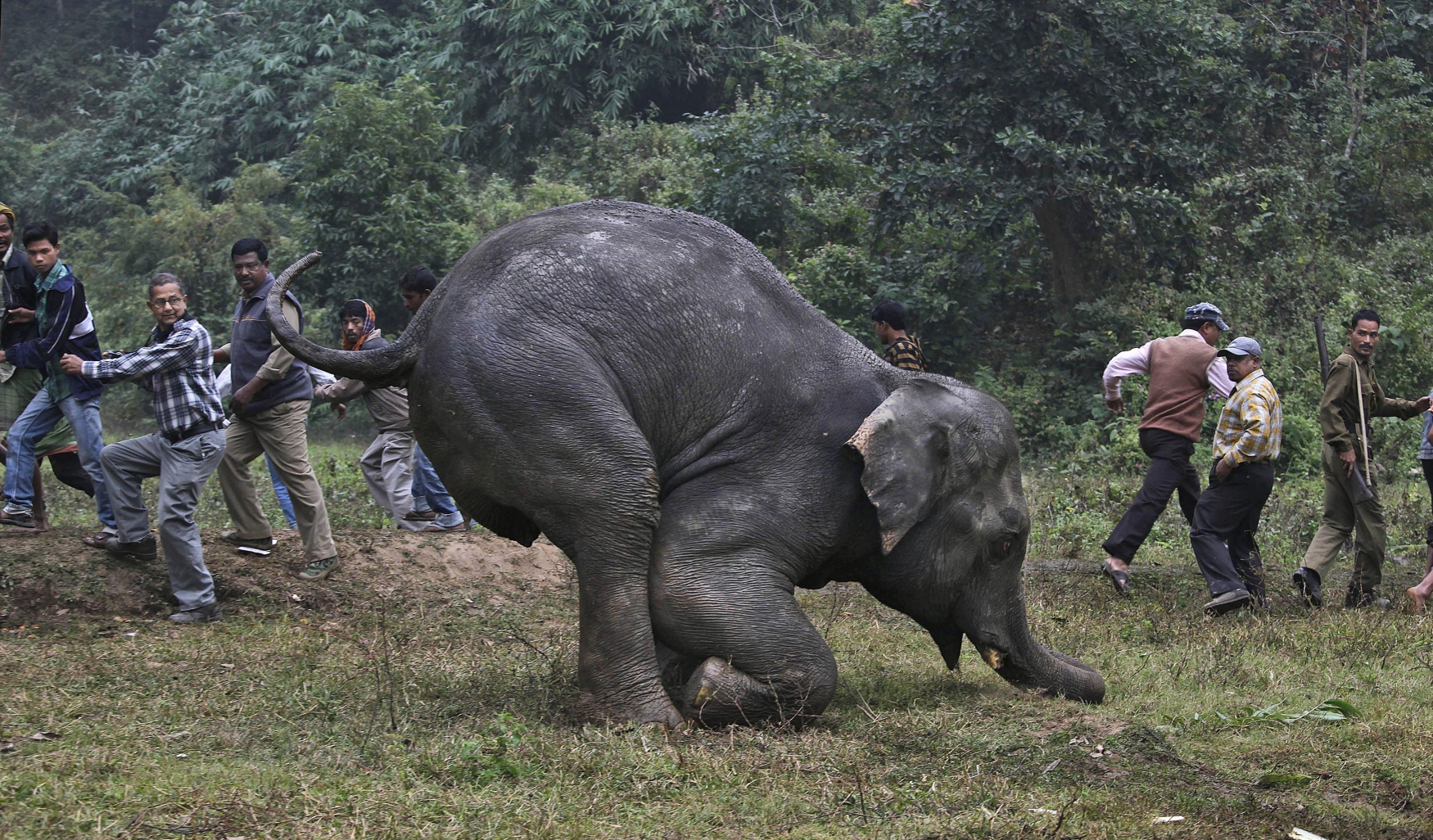 India Elephant, zraněný slon, pytláci