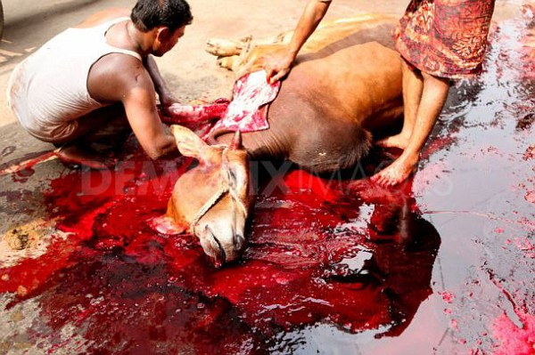 Halal slaughtere requires that live animals throats are cut  but only enough so that they will bleed to death in agony