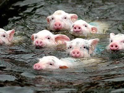 SwimPig