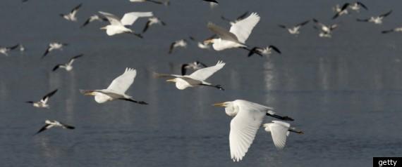 r-MIGRATING-BIRDS-large570