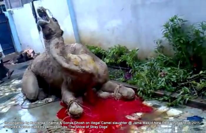Illegal-camel-slaughter-on-Bakr-Eid-near-Jama-Masjid-in-New-Delhi-2-e1376102825602