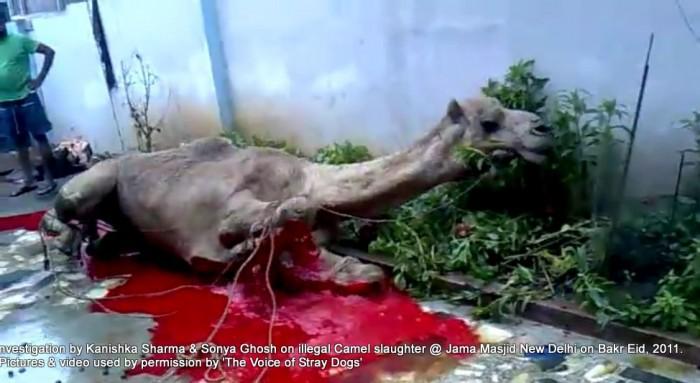 Illegal-camel-slaughter-on-Bakr-Eid-near-Jama-Masjid-in-New-Delhi-4-1-e1376102855270