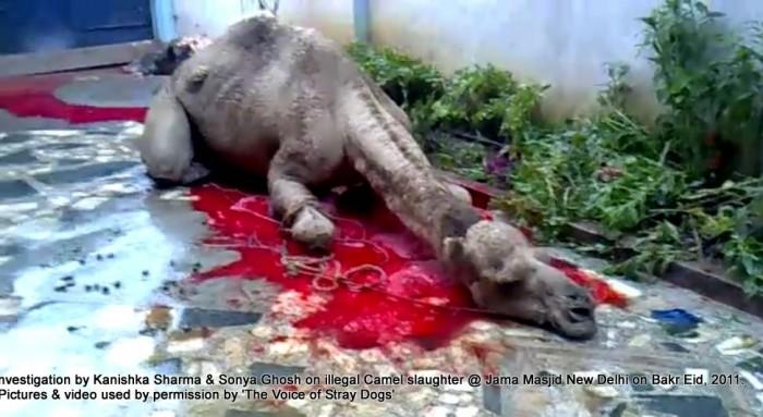 Illegal-camel-slaughter-on-Bakr-Eid-near-Jama-Masjid-in-New-Delhi-7-e1376102884524