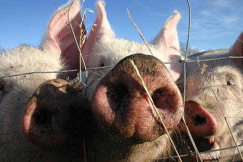 porc-cochon