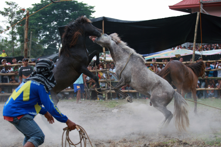 Illegal Sport Of Horse Fighting Features At Southern Philippines Festival