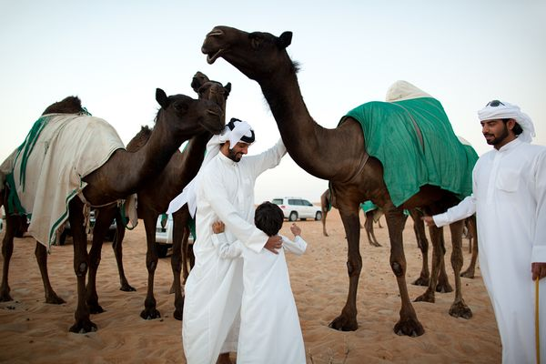 beauty-camels-abu-dhabi_40683_600x450