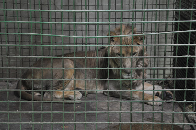 A sickly, emaciated lion doesn't have energy to move