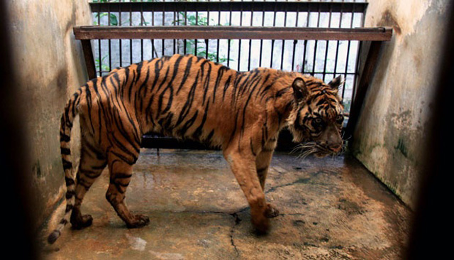 Emaciated tigers