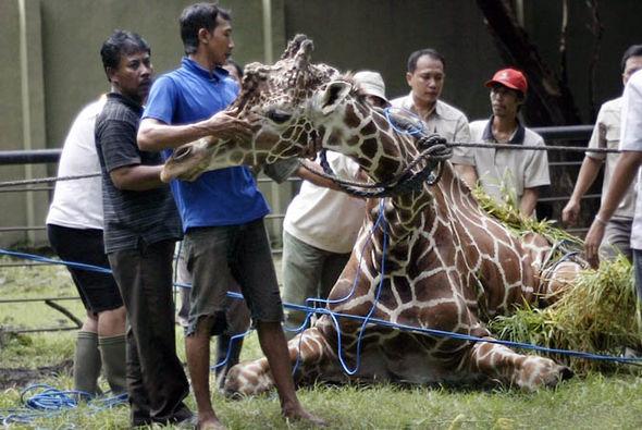 giraffe-518764