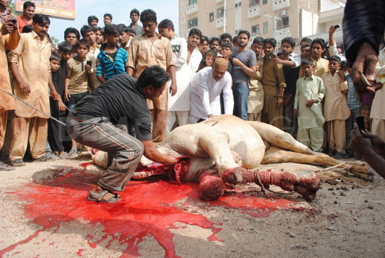 1320757347-camel-sacrifice-during-the-second-day-of-eid-ul-adha_916224-1