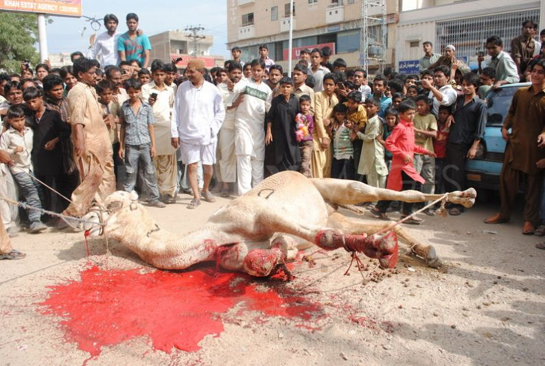1320757348-camel-sacrifice-during-the-second-day-of-eid-ul-adha_916223-1