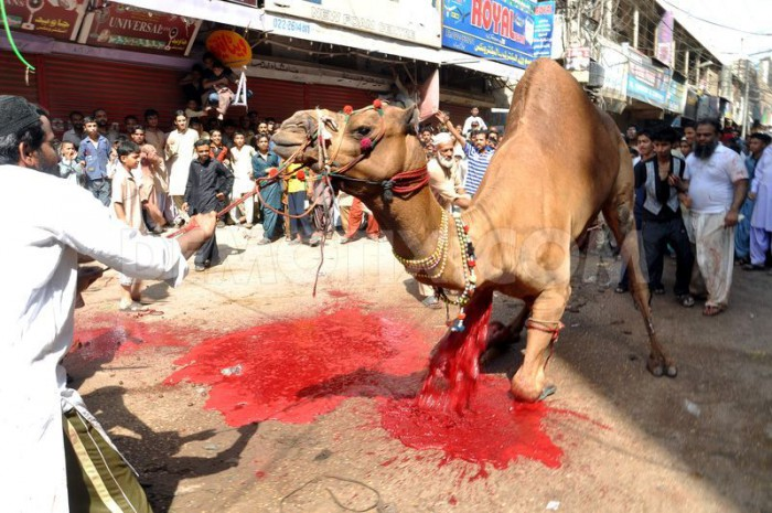 1381919757-muslims-sacrifice-a-camel-in-the-street-for-eid_2969374
