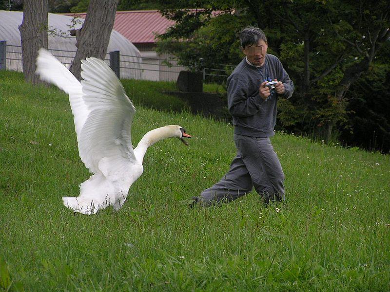800px-The_swan_attacks_man.Hokkaido-toyako,人を襲う洞爺湖の白鳥P6200258モザイク