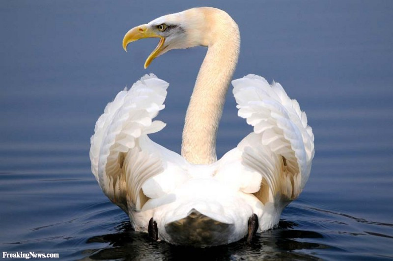 Angry-swan-55148-1