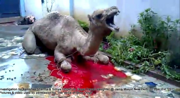 Illegal-camel-slaughter-on-Bakr-Eid-near-Jama-Masjid-in-New-Delhi-3-e1376102795168
