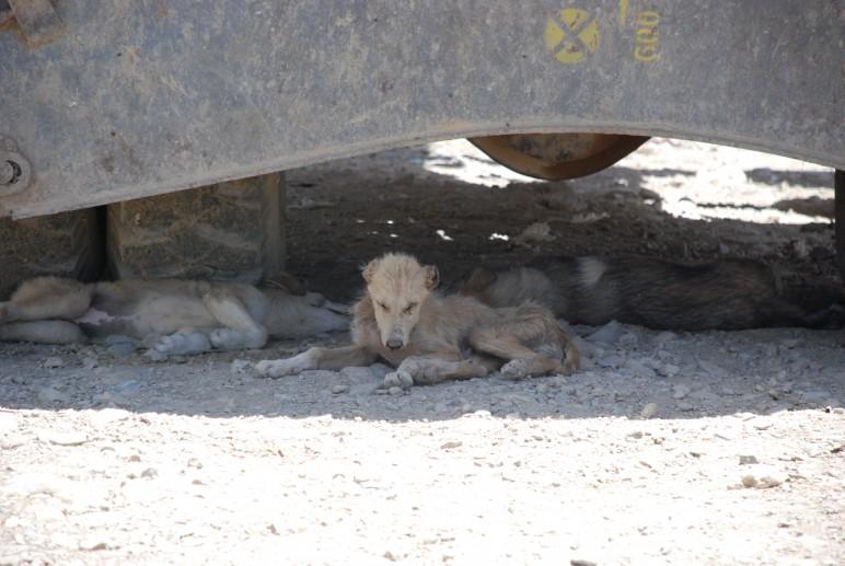 Stray dogs Kabul