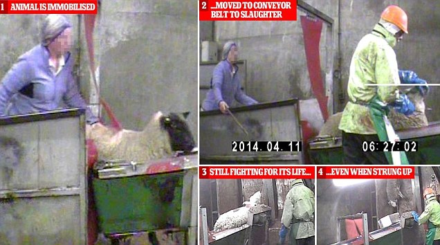Barabaric Halal Slaughter where the spinal cord is not severed so the animal suffers in agonizing pain for several minutes before he dies
