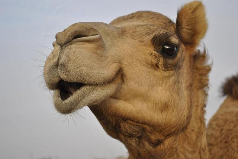 camel-02