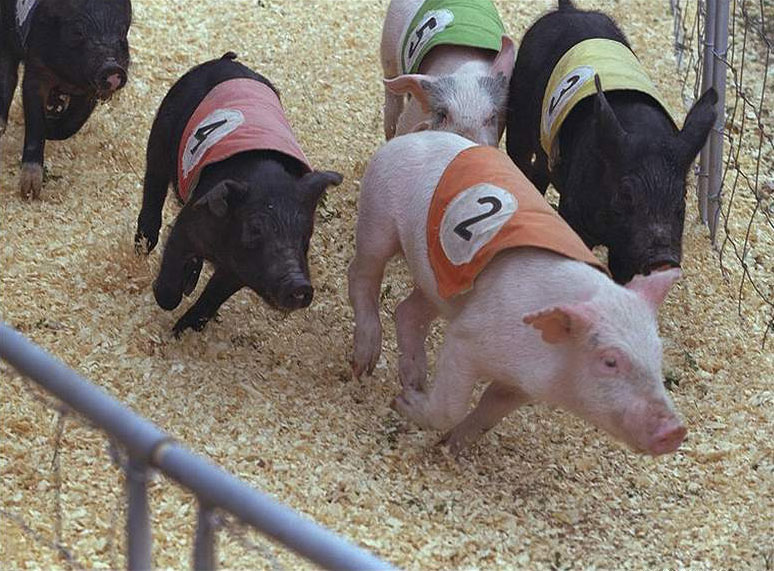 pig-race05
