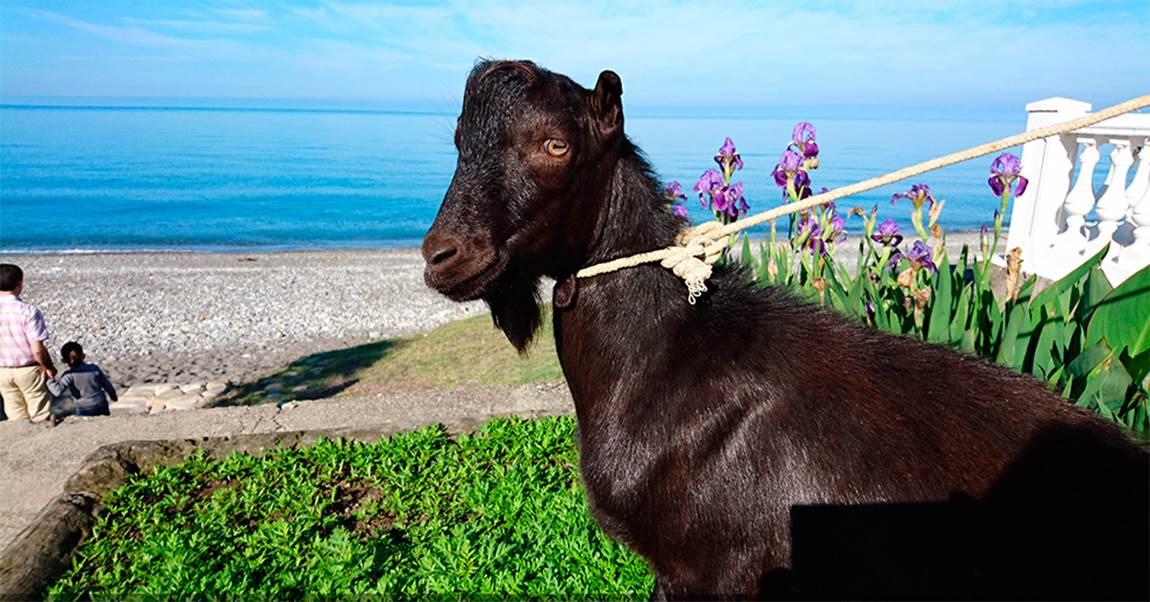 160516-obama-the-goat-russia-jpo-548a_6bc57d0be6476905f16a87b6bcbda884.nbcnews-ux-2880-1000