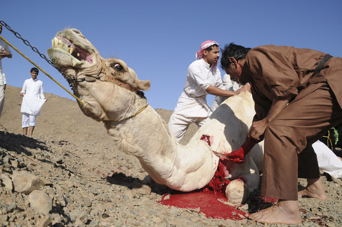Muslims torture a camel on the first day of Eid-al-Adha